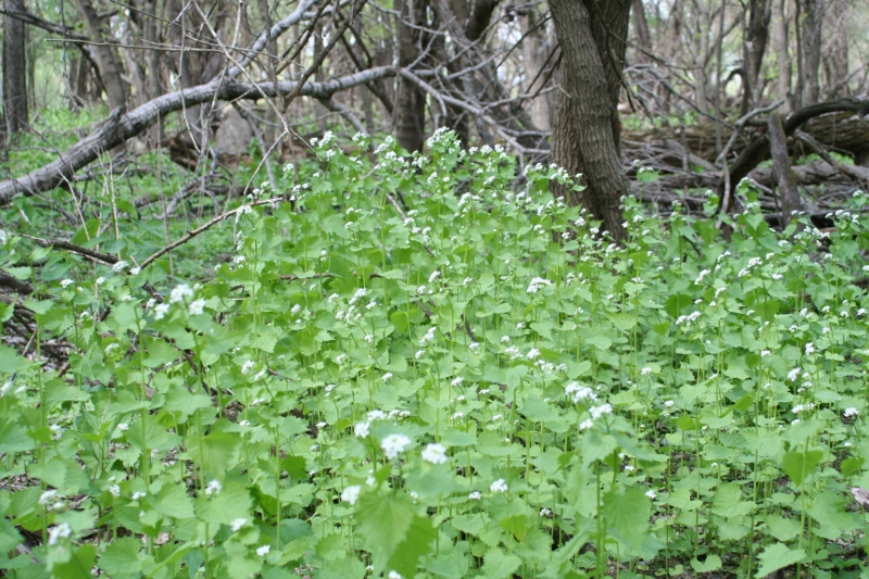 garlic mustard infestation in spring